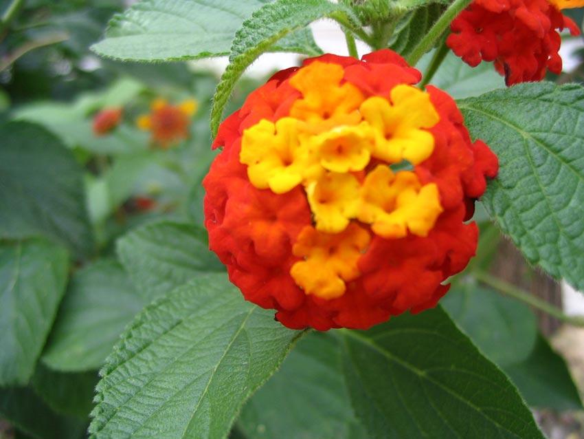 Floare roșie